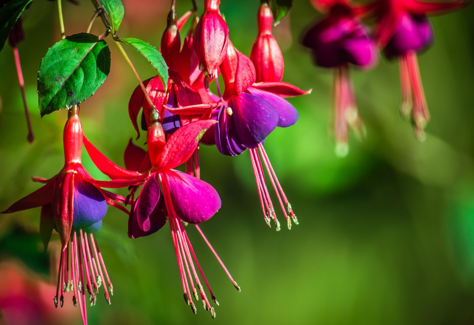 fuchsias-flowers